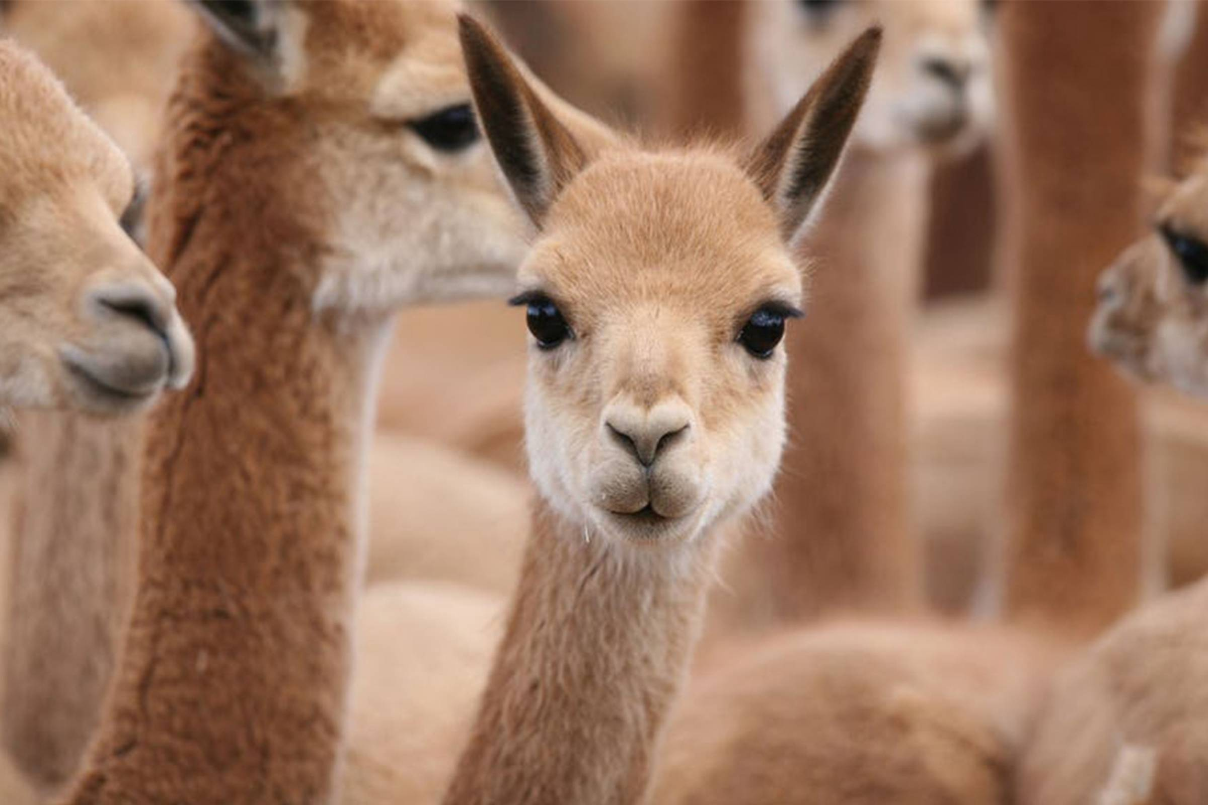 """Vicuña, """"Queen of the Andes"""""""